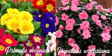 plantas de interior con flores de colores
